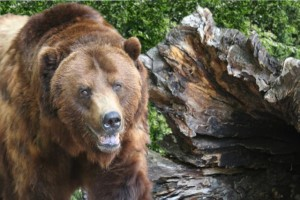 grizzly_bear_med
