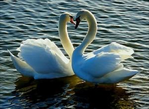 Love_swan
